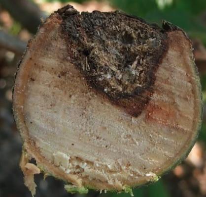 avocado branch canker disease symptoms california