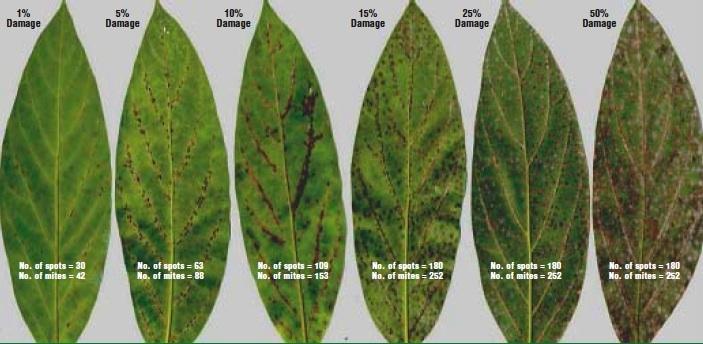 Top Identifying Persea Mites | California Avocado Commission RX46
