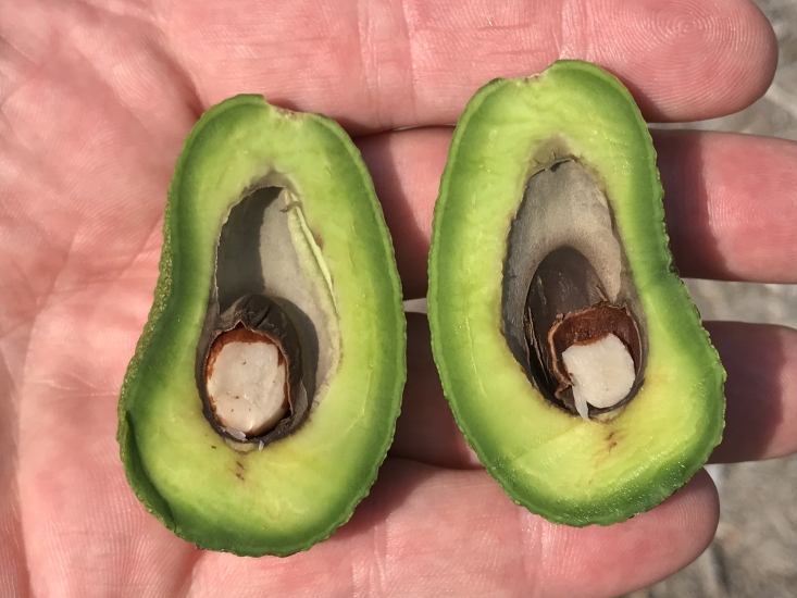 An example of young 2019-crop Hass avocado fruit damaged by the sudden July 2018 heatwave. The fruit flesh is soft and the developing seed has shriveled.