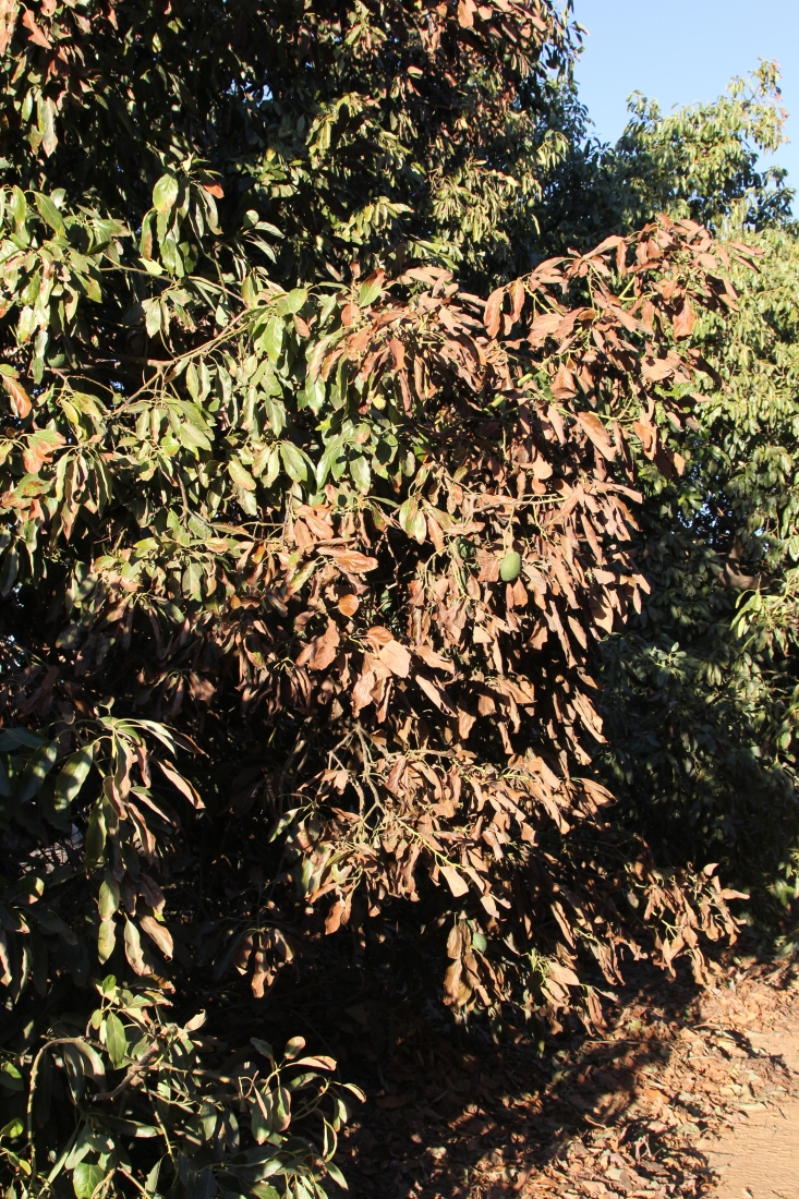 The side of an avocado tree canopy facing a fire shows signs of leaf damage.